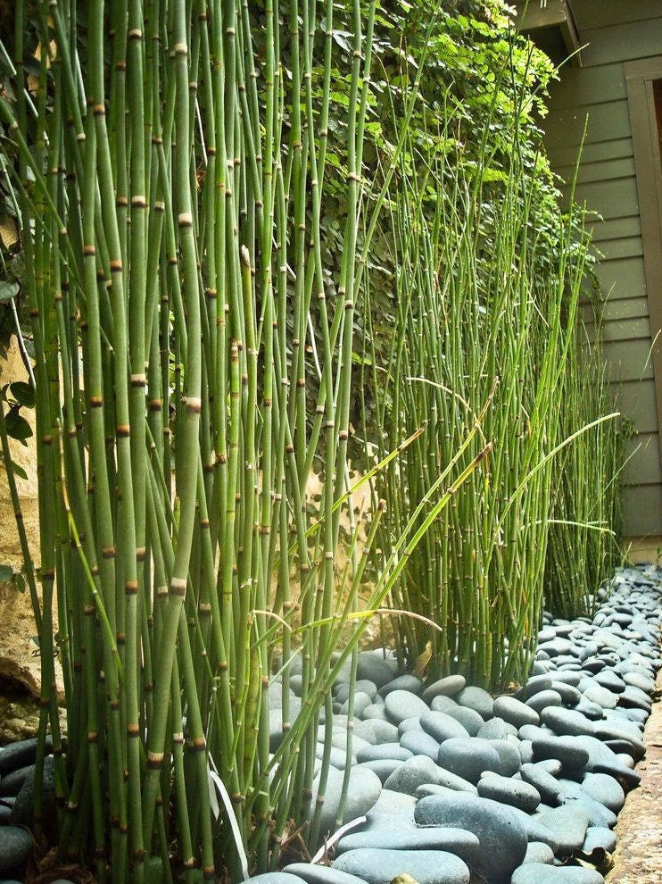 400 x apx 20 inches tall horsetail reed grass looks like mini for Pond reeds for sale