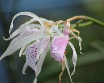 Wispy Orchid
