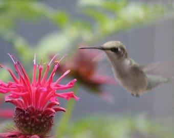 Hummingbird enjoying bee balm