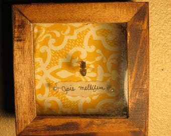 Honey bee Shadow Box, Apis mellifera