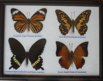 REAL 4 BEAUTIFUL Butterfly Taxidermy Framed     BTF04g