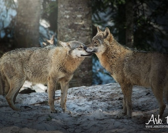 Portrait poster of a soft pair of wolves in europe