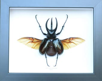 Giant beetle, Chalcosoma mollenkempi naturalized and framed. This is the Triceraptos insects!