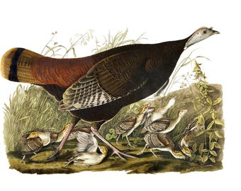 Audubon's Plate 6 Great American Hen and Young Cross Stitch Pattern