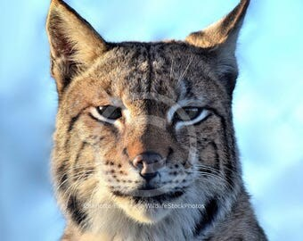 Eurasian Lynx Stock Photo Pack