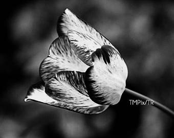 Canvas Art, tulip art, black and white, photo canvas, canvas print, abstract art