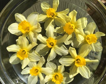 Daffodil Flower Essence / New Moon Beginnings / Solar Eclipse / Vibrational Healing / Vibrational Medicine Remedy / Pisces Gifts