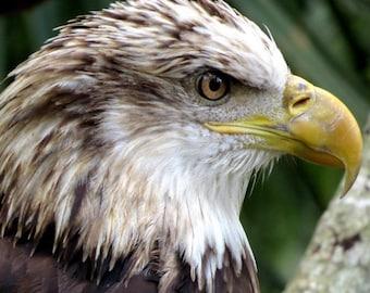 Bald Eagle - Matted Print