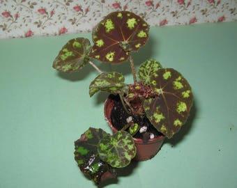 Begonia Tiger Kitten house plant good in fairy garden