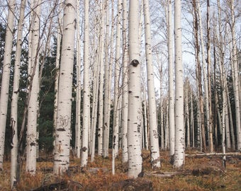 Birch Forest Photography, Autumn Trees, Modern Wall Art Print or Canvas Wrap, Large Landscape Photography, Loft Decor, Fine Art Photograph