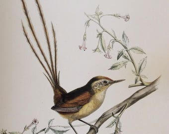 Des Murs Wiretail,  1990s Reproduction Colorplate, Book Plate, 10 x 14 in. Book Page Print, Bird Print, Ornithology Print