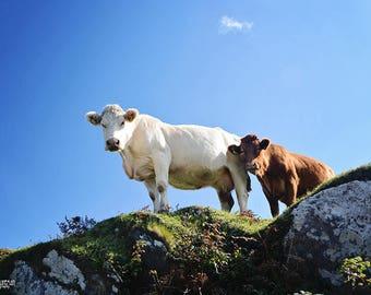 Ireland, Irish, Cow, Heather, Green, Celtic, Farming, Calf, Baby, Spring, Free-Range, Man Cave, Barn, Margaret Dukeman, Fine Art Photography