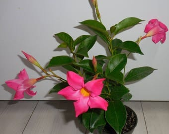 Pink Mandevilla ~ Lovely Tropical Plant - Live Plant Rooted -Mid Summer SALE