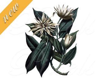 MAGNOLIA Instant Download ready for printing, Digital Download, vintage botanical illustration wedding clipart, green leaves big flowers 477