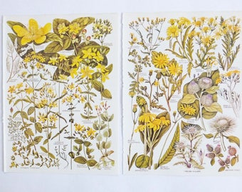 Botanical Drawings - vintage botanical flower illustrations, yellow flowers, floral art, botanical prints