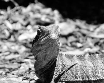 Black and White Animal Collection - Lizard