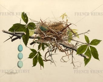 Birds Nest Antique Book Plate, Black Billed Cuckoo, 14x12 inches, Hi Res, Blue Birds Eggs, Print Your Own, Vintage Art, Digital Download