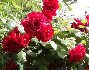 Blaze Improved Rose Plant - Fragrant Climbing Red Rose Bush - Potted Grown Organic - Non-GMO