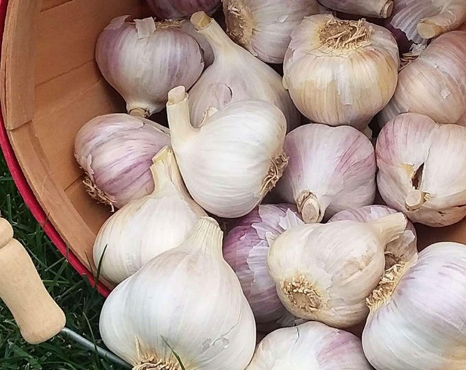 Mt Hood Garlic Bulbs Organic Grown Gourmet 1/2 Pound For Planting or Cooking Fall Shipping Porcelain Variety Non-GMO