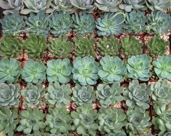 10 Premium Rosettes Succulent Collection Plants