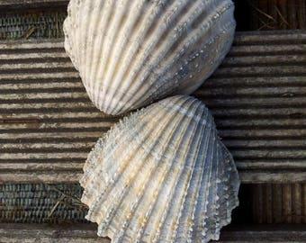 Seashell sea shell grey/beige