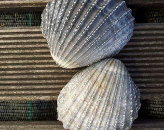 Grey sea shell seashell