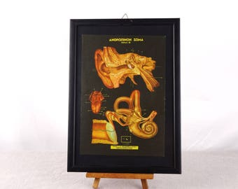 Ear Anatomy Poster, Human Anatomy Poster, Medical Poster, Anatomy Poster, Human Biology Poster, Gift For Doctor, Medical Gift, Anatomy Print