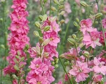 Larkspur Rose Queen (Delphinium Consolida) * 25 Seeds