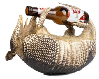 Genuine Nine-Banded Armadillo on Back with Beer Bottle Taxidermy (1310-M105-G2196)