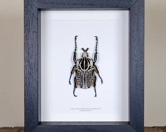Giant XL Goliath Beetle in Box Frame (Goliathus orientalis)