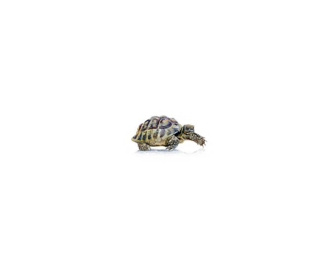 Print of Miniature painting of a Tortoise. tiny painting Turtle (Tortoise) art 5 x 5