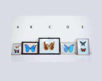 Butterfly domed glass vintage taxidermy frames