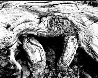 Cottonwood Roots