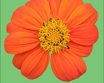 "24"" square, photo on canvas, orange flower art, art photo, orange wall decor, floral home decor, office decor, large photo, ready to hang,"