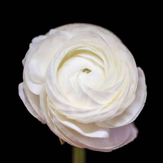 Nursery Decor, Flower Photograph, White Ranunculus, Wall Art Print, nature photography, Girls Room, Neutral floral prints, botanical artwork