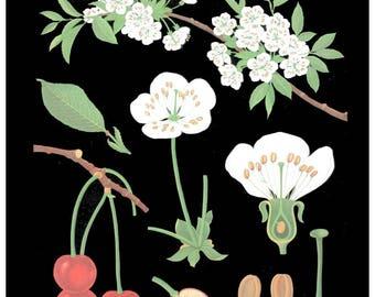 antique French botanical print cherry blossom illustration black background digital download