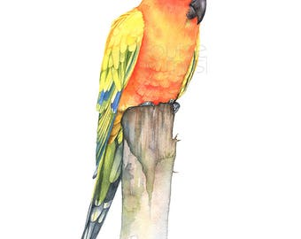 Sun Conure print of watercolor painting, SC22817, 5 by 7 size, sun conure watercolor painting print, parrot watercolor painting print