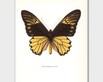 Butterfly Wall Art (Yellow Monarch Butterfly Print, 1960s Island Decor) --- Indonesia Birdwing No. 60-1