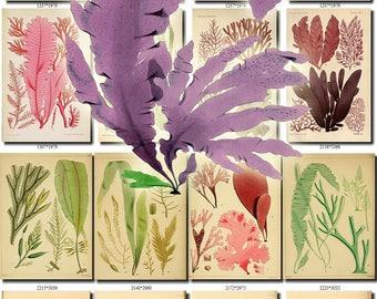 ALGAE-2 Collection of 210 seaweeds vintage images botanical pictures High resolution digital download printable alga seaware 300 dpi sea