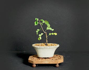 "Campeche pre-bonsai tree Fall'17 ""Mame-mini"" collection from LiveBonsaiTree"