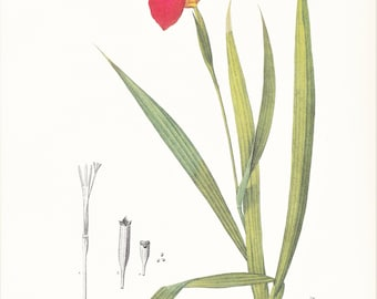Red Tigridia pavonia peacock flower tiger iris vintage botanical print Redouté garden flower gift for gardener cottage decor 8.5 x 12 inches