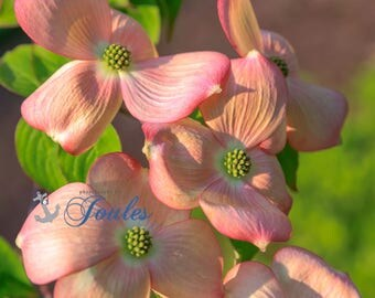 Dogwood ~ Warwick Neck, Rhode Island, Pink, Peach, Print, Photograph, Wall Decor, Interior Home Decor, Floral, Wall Art, Summer