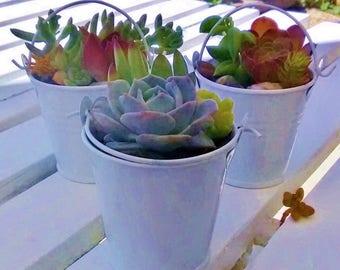 Live Succulent Plant* Gift/ Wedding/Arrangement/Centerpiece/Fairy Garden/Terrarium/Rare/Colorful/Party Favor/Birthday/Indoor/Outdoor/Office