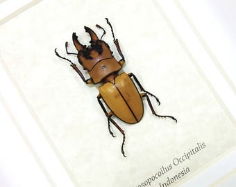 FREE SHIPPING Real Framed Prosopocoilus Occipitalis Stag Beetle Taxidermy High Quality A1-