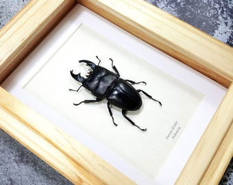 FREE SHIPPING Framed Dorcus Alcides Large Black Stag Beetle Taxidermy A1 #48