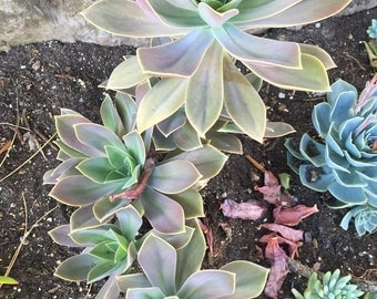 Graptoveria Fred Ives Rooted Succulent Leaves