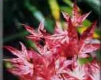 CORALLINUM Variegated Japanese Maple