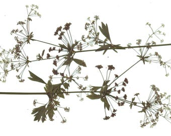 Long Celery( 4branches ).Size9-11inch.(25-29cm).Pressed Celery. Celery Herbarium.Green.Plants.For Oshibana, Cards, Scrapbooking, Kitchen