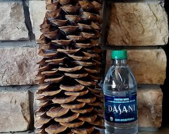 """Sugar Pine Cones - Large - 16"""""""