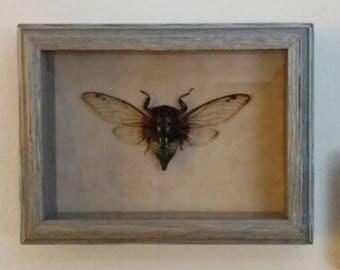 Cicada Insect Shadow Box Display